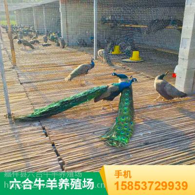 观赏特种成年孔雀 如何有效的养殖 供应商加盟