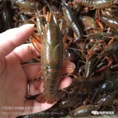 龙虾苗 种虾 龙虾苗多少钱 龙虾苗哪里有的卖龙虾养殖技术