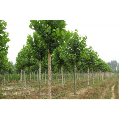 5公分法桐树苗价格|法国梧桐树苗地基